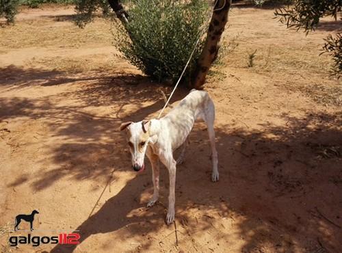 galgos112-galga-sylvie-attachee-a-un-arbre-pour-y-mourir