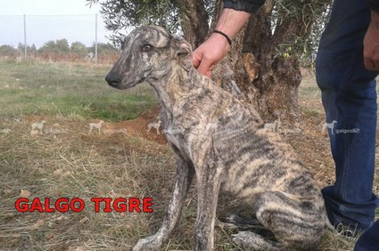 galgo-tigre
