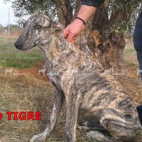 galgo-tigre-10-cm