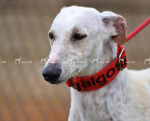 galga-cherry-a-l-adoption-1